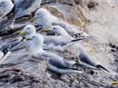 Surfin' Safari Gulls by cats_123