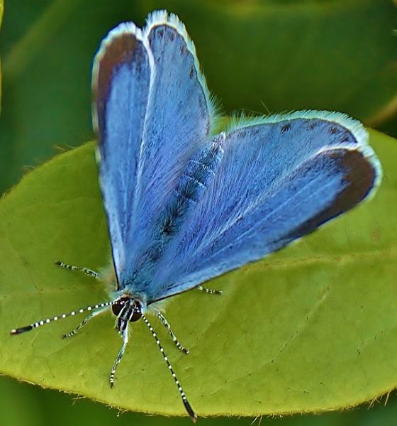 Holly blue. by georgiepoolie