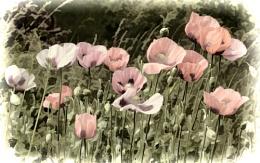 The Deadly Poppy Field