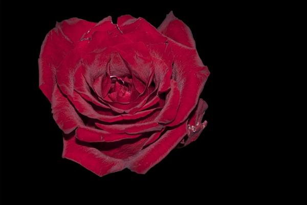 red rose by binder1
