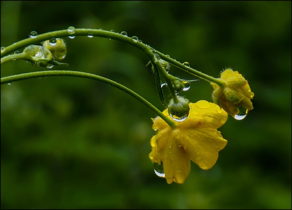 Buttercups after the rain by civitas