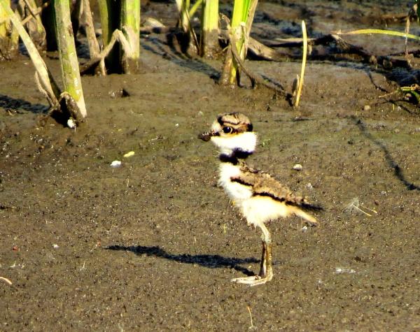 Killdeer chick by doerthe