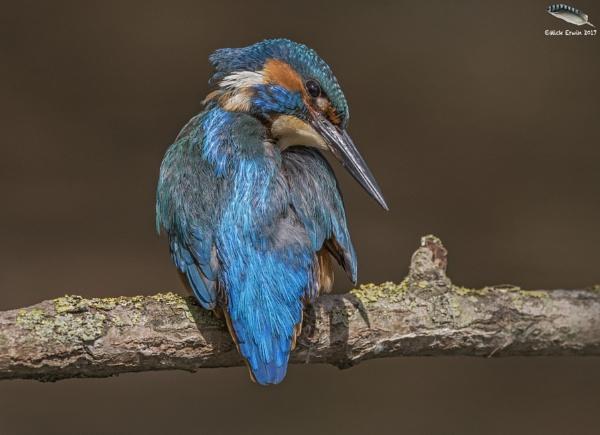 Kingfisher Strike A Pose! by mufftrix