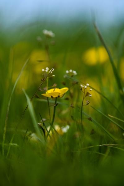 Buttercup by PCarman