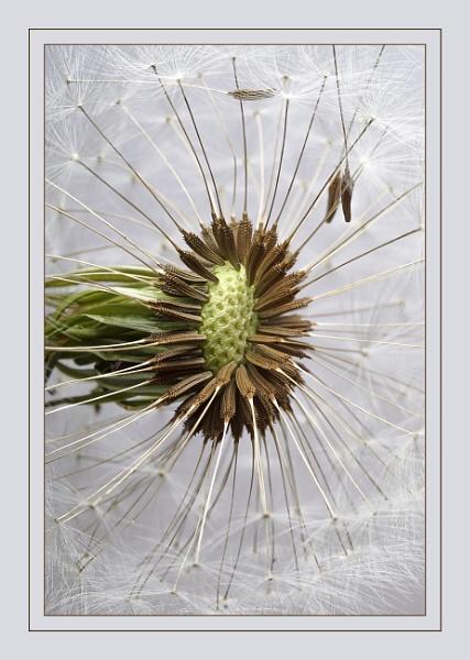 Dandelion seed head by deavilin