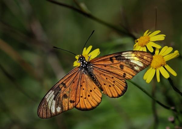 Acraea Butterfly by johnke