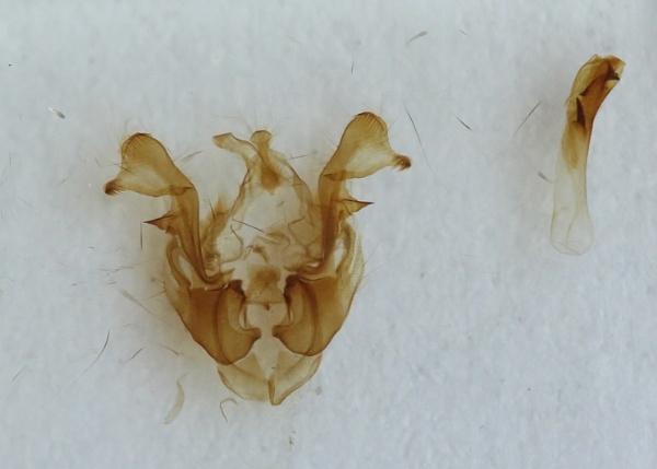 73.174  [BF 2339] Tawny Marbled Minor (Oligia latruncula) Genitalia by Andy_brown