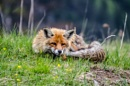 fox2 by Christiansirk
