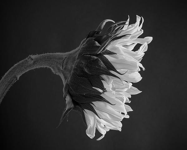 Sad Sunflower by lespaul