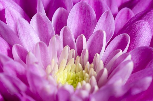 Purple Petals by lespaul