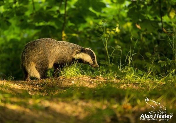 Badger by AH1shot