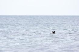Common Seal - Ardwell Bay, Stranraer