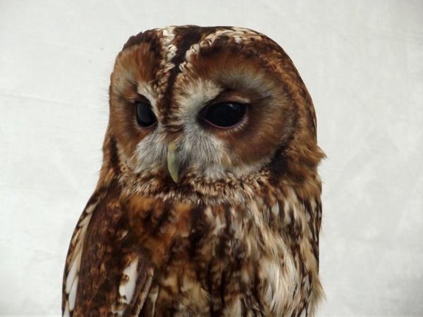 Tawny Owl by kearasmith