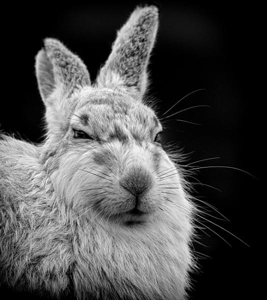 Portrait of a Mountain Hare in Monochrome by kfjmiller