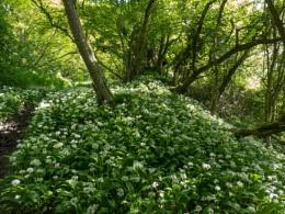 Wild Garlic Glade