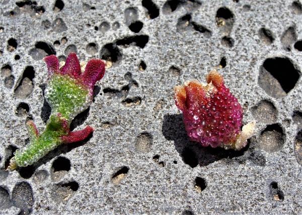Desert Ice Flowers by PentaxBro