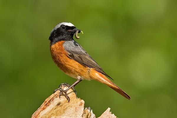 Male Redstart (Phoenicurus phoenicurus) by DerekL