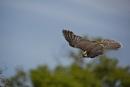 Lanner flight by ValSaxby