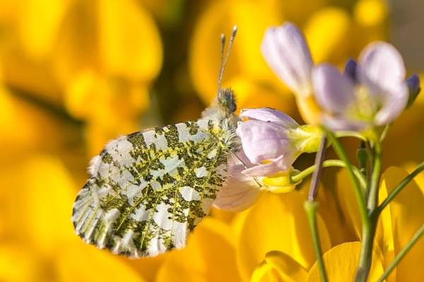 orange tip by STUARTHILL758