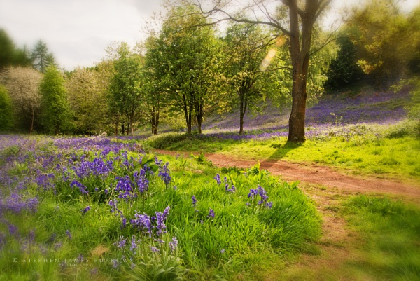 Bluebell Byway by Stephen_B