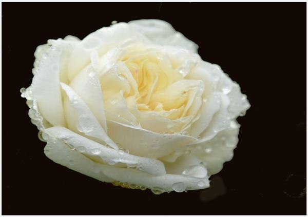 ** White Garden Rose ** by Rock