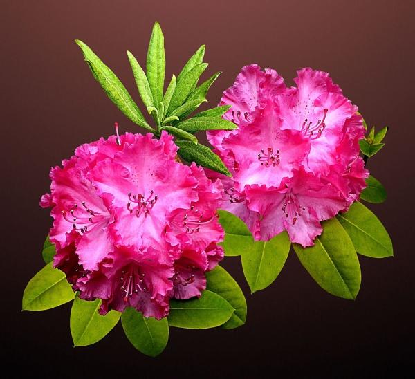 Rhododendron Clusters by pamelajean