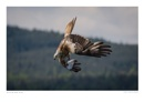Diving Red Kite by running_man