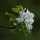 Apple Blossom by Squirrel