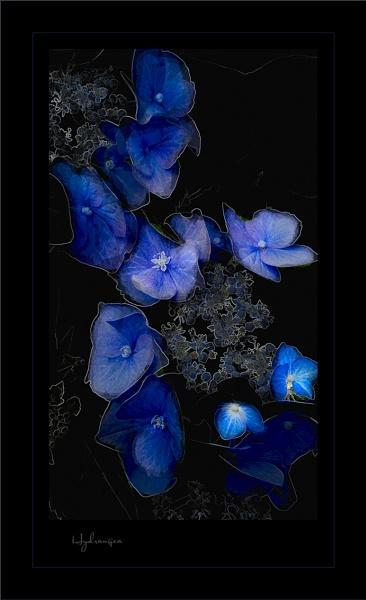 Hydrangea by jonirock