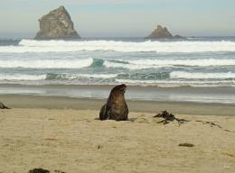 NZ Sea Lion 1