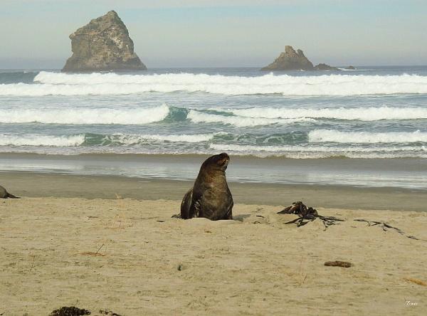 NZ Sea Lion 1 by DevilsAdvocate