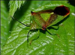 Hawthorn Shield Bug.