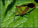 Hawthorn Shield Bug. by Badgerfred