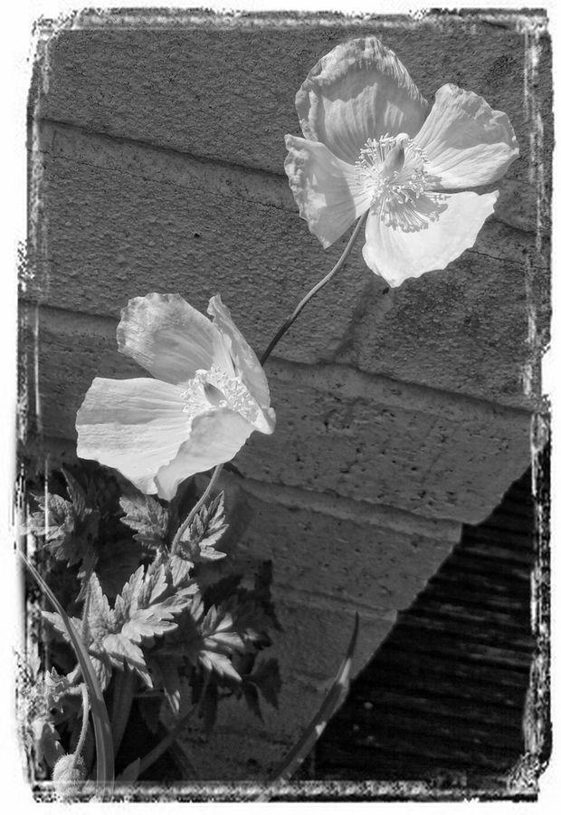 Poppies B/W