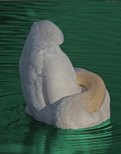 Swan lake. by mex