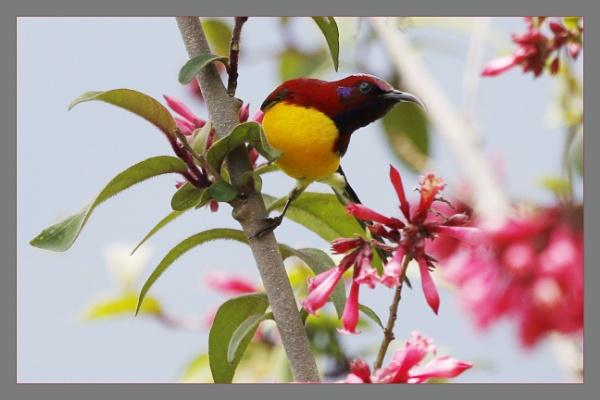 Mrs Gould\'s Sunbird 5 by prabhusinha