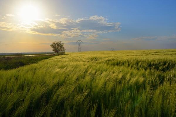 Sunset over green rye field by jordachelr