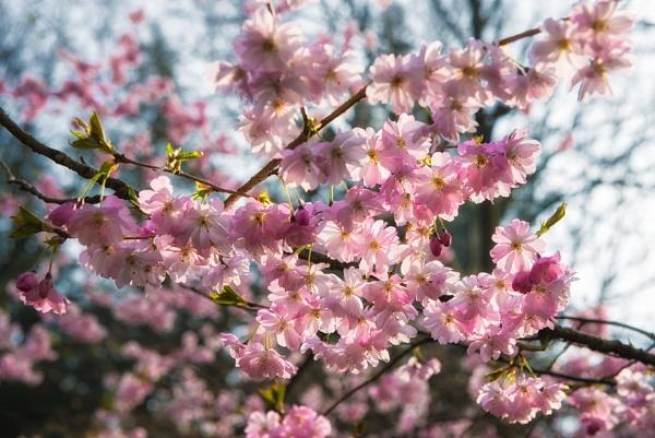 Cherry Blossom by Rorymac
