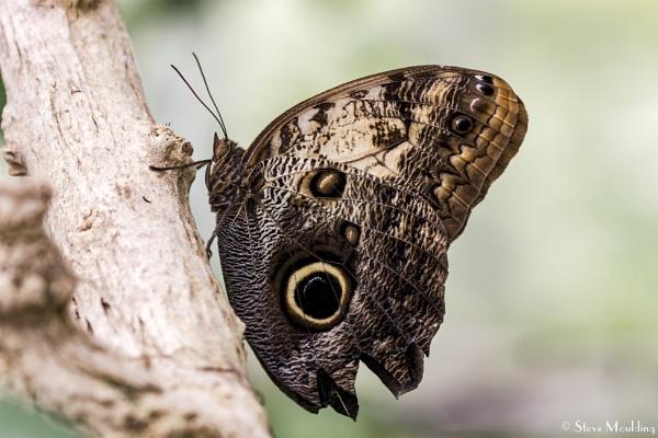 Owl Butterfly Resting by SteveMoulding
