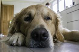 Bored Golden Retriever