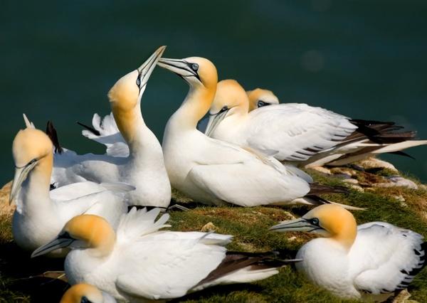 Gannets by camramadbob