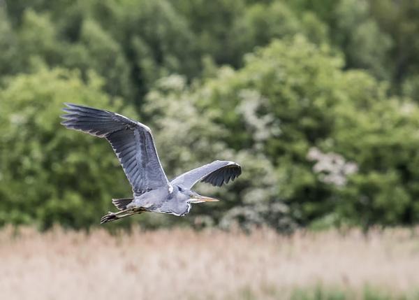 Grey Heron in flight by matrix45