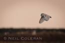 Barn Owl by neil75