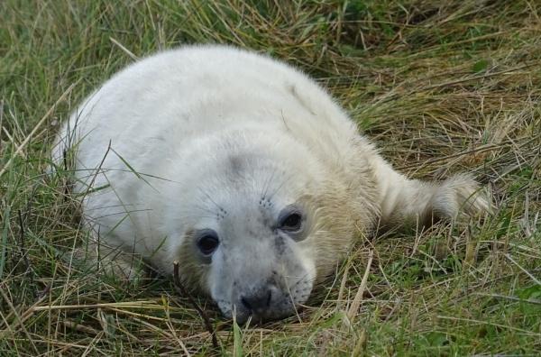 Donna Nook Seal by RAM