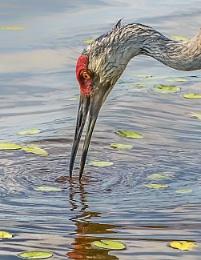 Feeding sandhill crane