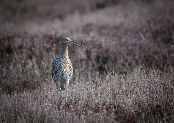 Curlew Calling by jasonrwl