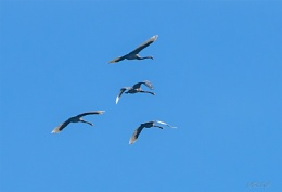 Swans over Pukepuke Lagoon