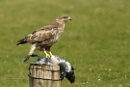 Buzzard by Louise_Morris