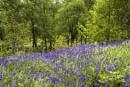 Queen Elizabeth Park - Bluebells by Irishkate