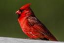 Cardinal Scene